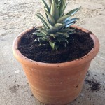 pineapple top, planted