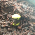 Lemon Seedling at 3 weeks